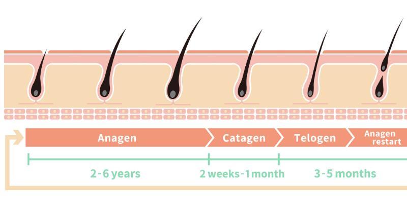 Фазы жизненного цикла волос_ уход после пересадки_8