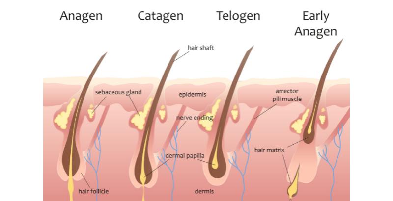 классификация жизни волос _ 03